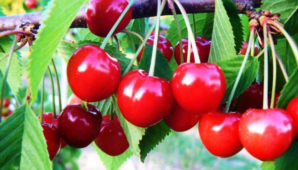 Vyšnios ir Trešnės